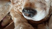 犬を飼っている方に質問です。うちのアメコカの鼻の上辺りにカサブタの様なものが出来ていいます。このガタブタは大きくなって、剥がれて、また出来て…の繰返しです。無理やり剥がそうとすると痛がります。犬の体調 は良く、ご飯も良く食べるし何の問題もありません。ただ、このカサブタは何なのか気になります。一応、鼻の写真も添付してますので、どなたかご存知の方は教えていただけませんか?