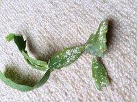 孔雀サボテンの病気について(写真参照) うどん粉病のような症状が出ています。 他の植物から移ったのか、随分前からこのような状態です。 市販の害虫駆除スプレーは全く効き目がありませんでした。 効果的な対処法がありましたら教えて下さい!!