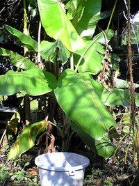 宮崎バナナ?ってあるのでしょうか~? この前、宮崎市より日向市に向かう途中に・・・露地植え(自生?)の【バナナが実っていました】 当地では珍しくもないかも知れませんが、私には【たいへん珍しい】と思い ww  宮崎に住んでいる方、露地植え(自生=野生)の【バナナの木(正式には草?)】に【バナナが実っている】のを何度もみました。  (感想~)  へ~!! 宮崎って【バナナが自生する...