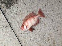 今日、魚を釣りましたが、何という種類なのか分かりません。 名前が分かる方いらっしゃいませんか。 よろしくお願いします。 釣った場所:高知県土佐清水市の岸壁 エサ:きびなご 日時:11/10 15:00頃 体長:18cm