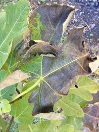 ミニイチジク(無花果)地植えです。植えたのは 今年の5月です。画像のように、葉が黒くなり 落葉します。イチジクは冬になっても葉は落ちませんよね?病気でしょうか? 病気だとしたら、どのように対処すれば良 いですか?