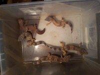 すみませんまたよろしくお願いします。 蛇を売った人から貰ったんですがモルフがさっぱり分かりませんww この写真の中の茶色いのは何ですか? あと他のも種類が分かれば教えて下さい。 クリプトは罹っていな...