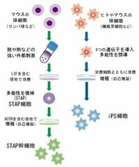 STAP細胞の真実は? STAP細胞は、 米ハーバード大のチャールズ・ バカンティ教授が生みの親です。 小保方博士の記者会見では、何一つ事実が見えないので、日本ではSTAP細胞は、まやかし、妄想、IPS細胞のコンタミなど懐疑的です。  一方、米ハーバード大のバカンティ教授チームが脊髄損傷のサルを治療する 研究を始めていることが報告されています。 バカンティ教授は有名で、多くのポスド...