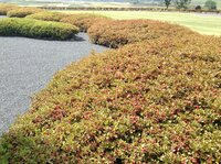 ツツジの葉っぱが 茶色っぽく 久留米ツツジなのですが、気づいた時には 葉っぱが茶色っぽくなってしまい、元気が無いような感じです。 土は、湿っていて 乾燥してません。 病気でしょうか??