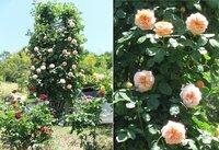 この杏色のバラの名前を教えて下さい 先日、近所の公園のバラ祭りに行った時に撮りました。 『杏色、大輪、強香(または中香)』で一生懸命検索しましたが、コレだ!というものが無く困っています。 アンブリッジローズ、エブリンあたりかと思いましたが確信が持てません。 よろしくお願いします!  ※ロングでしか写真を撮っていなかったので、アップの写真を…と拡大して切り出しましたが、画質が悪くてス...