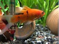 金魚のエラのことで質問です。 エラが赤いような気がします。 これは病気ですか?病気だった場合の治療法をおしえてください!