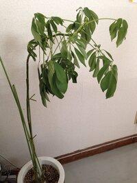 この観葉植物の名前をご存知の方はいらっしゃいますでしょうか。  水をあげても元気がなくて困ってます。  宜しくお願いします。