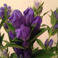 りんどうの花が臭い! 今日買って来たりんどうの花がビックリするくらい臭いです。 そら豆みたいな匂い。 どうしてでしょうか? 今まで何度も買ってますが、臭いと思ったのは今日が初めてです。 見た目はいたって普通のお花なんですけど…