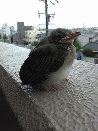 何のひな鳥でしょうか? ベランダにいました…