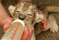 ライオンをペットとして育てたいと思いますか?