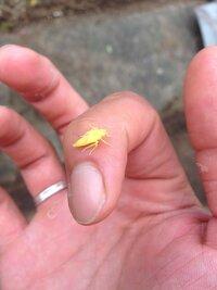 この黄色いバッタらしき虫って何かわかりますか? バッタのように跳ねます!