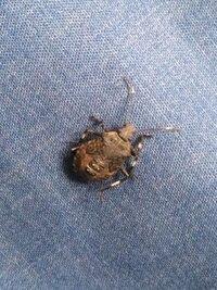 カメムシの幼虫だと思うのですが、 何カメムシなのでしょうか?
