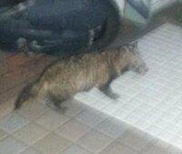 タヌキでもネコでもない生き物   先日家の軒先でタヌキのような生き物を見ました。 顔が少し尖っていて猫ではないと思うのですが、調べてみたところ 白い線などの特徴がなく、タヌキやハクビシン、ヌートリア...