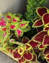 手前の左右の植物は色違いの同じ植物と思いますが、なんという名前でしょうか。