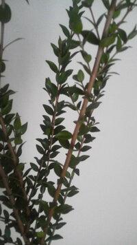 枝ものの名前 これって、キン・・なんでしたっけ? 思いだせません、ご存知の方教えてください