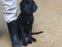 【犬の交配相手探しています】  デザイン犬(mix犬、または雑種犬)を飼うことになりました。犬種名は「ラブニエル」メスで、体格も中型犬よりも小さいです。でも小型犬よりは大きい。ラブラ ドールの母とイングリッシュコッカースパニエルの父を持つ子です。  前回まで14年間飼っていた犬はラブラドールでメスでしたが、子宮を除去してしまいました。なので、犬同士の交配知識がありません。  ラブ...