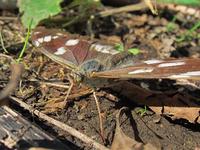 アゲハチョウ類のメスの吸水行動はとても珍しいとの事ですが、「滅多に見ることはない」とまでは行かないまでも、他の蝶のメスの吸水行動も珍しいものになるのでしょうか? . 写真はメスグロヒョウモンのメスで...