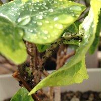 アイビーに虫がすごい。  10年近く室内で育てているアイビーに、最近突然アブラムシのような虫がつきはじめました。 新芽が出ると虫がわき、見つけてはその部分ごと切って捨てたり、殺虫剤をかけたりしているの...