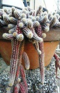 植木鉢から垂れ下がるやや気持ちの悪いサボテンの仲間?の名前を教えて下さい。
