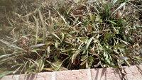 ガザニアについて質問です。1年草か宿根草か分からないですが、去年沢山花が咲きました。種が落ち増えていきました。  冬になり枯れてそのままにしていたら、画像のようになりました。 葉っ ぱが枯れている状...