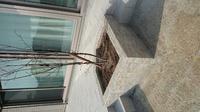 ツルニチニチソウを植えるか悩んでいます。真南にある1日中日が当たる1m×1mの花壇にジューンベリーを植えています。下草としてツルニチニチソウを植えようかなと思っているのですが、ネットでは繁殖力が凄いから 植えてはいけない、など書かれているので躊躇しています。花壇の周りはタイルデッキやコンクリート(飛び石と砂利にする予定)なので、こまめに剪定すれば大丈夫かな?と思うのですがやっぱり植えない方が...