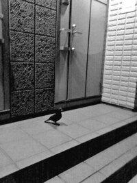 一階の家の玄関前に夜、鳩がいたのですが羽根のない鳩でした。こんなことってあるのですか?誰かのイタズラなのか不気味です。 ここら辺は日中もほとんど鳩は見かけませんし、でも鳩はこんなと ころにきて夜を過ごしたりするのでしょうか