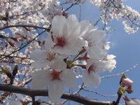 桜に関する和歌か俳句   下の写真を見て「桜」という言葉が使われている有名な和歌か俳句をいくつか教えて下さい。なるべく多く挙げて頂けると助かります。 なるべく古い時代の作品がありがたいですが、近現代...