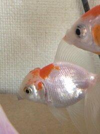 金魚の頭が画像のように水ぶくれになってしまったのですが、どのような病気でしょうか? 治療法はあるのでしょうか? 金魚は変わりなく元気に泳いでいて、頭以外は何も変化はありません。 ご 回答よろしくお願...