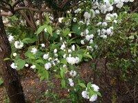 この花、木は何という名前ですか?  庭の木陰で見つけたのですが、亡くなった祖父が管理していたので家族の誰も名前がわかりません。 写真は5月上旬で、ソメイヨシノが4月中旬に開花する地域です。