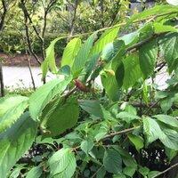 桜の木の病気について質問致します。 添付写真の様に葉が赤っぽくなり、膨らんだ状態になっています。 詳しい病名と対処方法を教えてください。