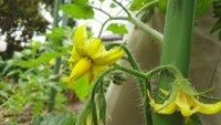 トマトの花ですが、雄しべと雌しべは、それぞれどの部分になりますか?。  受粉させたいのですが、どこにどうすればよいのでしよぅ?。