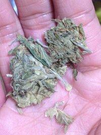 知り合いの家でパイプと一緒に見つけました。これは何ですか? 葉巻の葉っぱですか? 大麻じゃないですよね??  できるだけ早めの回答お待ちしてます。
