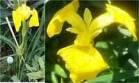 この花の名前をご教授ください。   3日ほど前に庭先で撮影した写真になります。 当方、宮城県在住となります。 近所のおばさま達が、  「アヤメ」「アイリス」「カキツバタ」と論争を起こしており(笑)、  ...