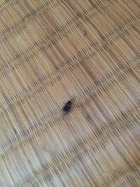 5mmほどで真っ黒。恐らく首と体の間に白い線が1本入っています。お尻に2本ハサミみたいなのを持っています。 これはゴキブリですか?コオロギですか? ここ3日連続して家の中で息絶えていました。 10匹は見たと思...