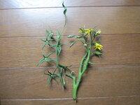トマトの実がなりません。 写真右側が4段目の花で、左側が3段目の実です。 花はたくさん咲きましたが、実は小さいままで一つも大きくなりません。 何が原因でこうなるのでしょうか。 どうしたらいいですか?
