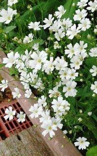 プランターに咲いてる白い花の名前をおしえてください。 サクラソウっぽいですが、6月中旬に咲くのでしょうか?