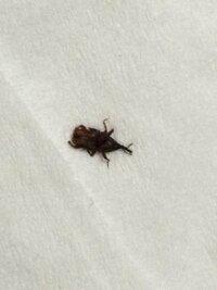 画像あり これってゴキブリの赤ちゃんですか?米粒より少し小さいくらいです。寝室で3匹、トイレで1匹見かけました。10回くらい踏まないとなかなか死にません。移動速度は遅いです。