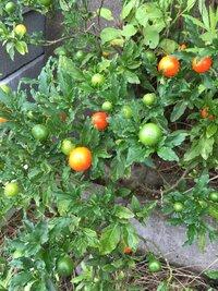 会社の駐車場に出来ているこの植物なんですがミニトマトによく似ている実をつけています。  これはなんという植物なのでしょうか?  わかる方教えてください。