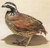 鳥類の卵で一番小さいのはウズラですか?