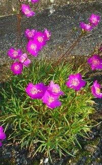 舗装道路の端っこで咲いてる背丈25cmほどの小さな赤い花の名前をおしえてください。