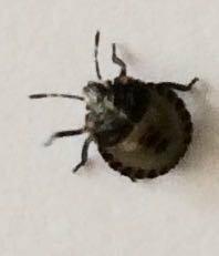 イタリアンパセリに虫が(>_<)!! いつもお世話になっております。 先ほど鉢植えのイタリアンパセリを植木屋さんで購入して帰ってきたら、  大きさは5mm程度、背中の中央に3本の横線、身体の周りには点々と黒い模様が綺麗に並んでいる虫がくっついてきました(>_<)  まん丸ころころの見た目で、一見てんとう虫の仲間かと思えば背中は割れておらずに羽はなくて、サーッと歩いて移...