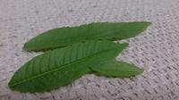 これはうどんこ粉病ですか? ベランダで育てているレモンバーベナの葉が点状に緑色素が抜けた感じになっています。 とりあえずそうなってる葉だけむしっておいたのですがまだ小さい木なのでこれ以上は取りたくありません。 今朝数個の新芽が茶色く変色しかけていたのでそれも取りました。 何かが不調のようです… 2ヶ月ほど前に購入し、一回り大きな鉢に植え替え水やりも土表面が乾いてからです。日当たりも良好。  ...