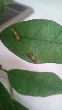 カラスアゲハ?クロアゲハ?ナガサキアゲハ?   金柑の木にいたのでアゲハ蝶でしょうが種類が分かりません   ネットで見ると上記3種類辺りに似ている様な気がします