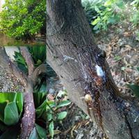 【至急】 急ぎの質問です。  自宅にみかんの木が2本あるのですが、内1本に先週あたりから幹の部分から複数ヵ所、画像の様に樹液が出てきました。 この様な事は初めてで、原因と対処法を御教示頂きたく質問させて頂き ました。   樹齢は詳しくは分かりませんが40年前後はまずあるかと思いますが種類は分かりません。 葉はまだ比較的、緑かとは思いますが、樹液が出ている箇所は増えてきている気がし、カブトムシ...