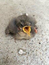 ハクセキレイの雛を保護しました。他の投稿など見て判断しましたが、明らかに羽根に怪我をしており、巣立ち鳥ではなさそうです。どのように保護したら良いでしょうが? また、鳥の身体に細かい虫が付いていて、虫がついてると家の中で飼えません。洗ってても良いものでしょうか?洗えないならどのように虫を無く出来るでしょうか? よろしくお願いします。