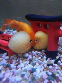 金魚の病気についてです。 私は水泡眼という種類の金魚を飼っているのですが、一カ月ほど前からその水泡眼の水泡の中のリンパ液が膿みのような黄色い液体になってしまいました。水槽の中でも隅 っこでじっとして...
