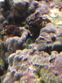 海水魚飼育《ライブロック》 今日ライブロックを眺めていたらイソギンチャク?みたいなやつを見つけました。 詳しい方いたら教えてください。