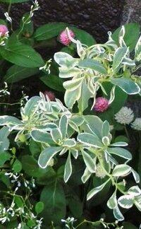 植木鉢のふちが白い葉の植物の名前をおしえてください。