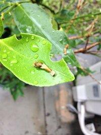庭のキンカンの葉に、何かの幼虫が10匹ほどいました。この幼虫の名前を教えていただきたいです。