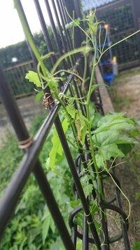 ベランダのツル状の雑草に大量に発生している、黄色の毛虫なのですが、名前や毒があるのかわかりません。まだ毛虫が小さいので、これから大きくなり色など変わるのかもしれませんが…わかる方居 られますか?